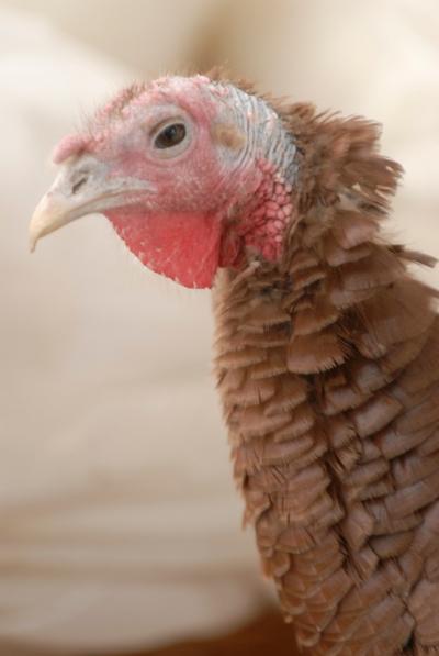 Duerksen Turkey